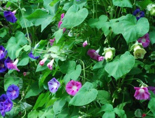 Zaai zaden uit de Costerustuin in eigen tuin!