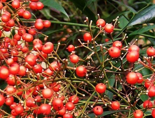 Kleur in de wintertuin: Hemelse bamboe