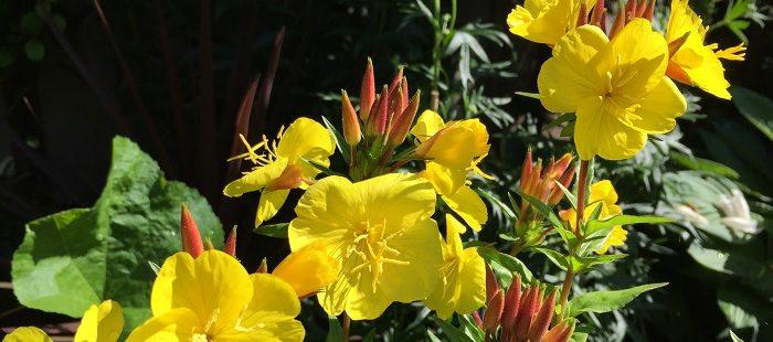 zaden Grote Teunisbloem, Oenoteara erythrosepala