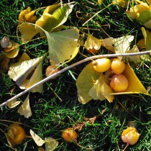 Japanse Notenboom Ginkgo biloba