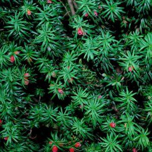 Ierse Taxus Taxus baccata 'Fastigiata'