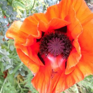 Oosterse Papaver Costerustuin