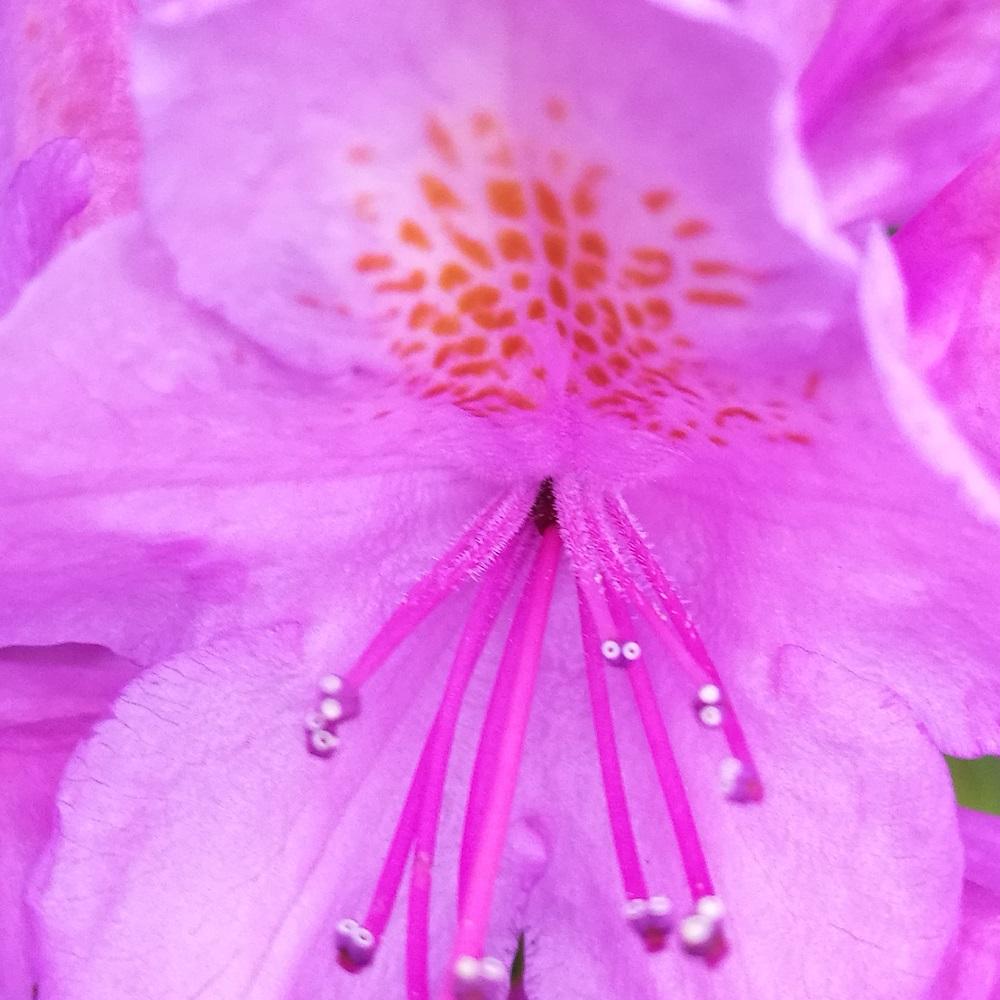 Pontische Rododendron Costerustuin